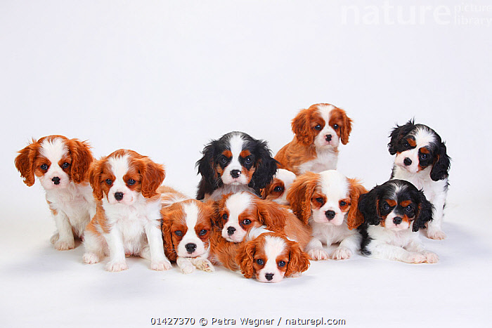 Large group of Cavalier King Charles Spaniel, puppies,  three of which have tricolour coat and the rest blenheim, catalogue6,CANIS FAMILIARIS,Canis familiaris,Conformity,Rejection,Unity,Many,Group,Large Group,No One,Nobody,Pattern,Patterned,Patterns,Copy Space,Plain Background,White Background,Animal,Young Animal,Juvenile,Babies,Baby Mammal,Baby Mammals,Puppy,Puppies,Indoors,Studio Shot,Studio Shots,Domestic animal,Pet,Domestic Dog,Domestic animals,Young,Domesticated,Canis familiaris,Multitude,Mass,Dog,Baby,Negative space,Animal marking,Tricolour,Blenheim, Petra Wegner