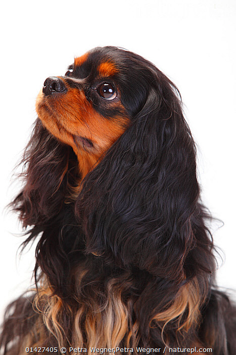 Cavalier King Charles Spaniel, bitch with black-and-tan coat, Canidae,CUTOUT,DOGS,FEMALES,PETS,PORTRAITS,small dogs,Studio,toy dogs,VERTEBRATES,VERTICAL,white background,catalogue6,CANIS FAMILIARIS,Canis familiaris,Head Back,Head Cocked,Anticipation,Hope,No One,Nobody,Length,Long,Lengthy,Copy Space,Plain Background,White Background,Close Up,Side View,Animal,Ear,Animal Ears,Ears,Blue Eyes,Blue Eye,Brown Eyes,Brown Eye,Indoors,Studio Shot,Studio Shots,Domestic animal,Pet,Domestic Dog,Domestic animals,Domesticated,Canis familiaris,Dog,Negative space, Petra Wegner,Petra Wegner