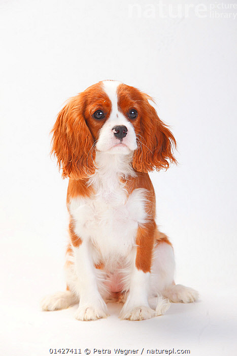 Cavalier King Charles Spaniel, puppy with blenheim coat sitting , aged 5 months, catalogue6,CANIS FAMILIARIS,Canis familiaris,Sitting,Seated,Sit,Sits,Sitting Down,Glance,Glances,Glancing,Look Away,Looks Away,Colour,Brown,No One,Nobody,Front View,View From Front,Animal,Young Animal,Juvenile,Babies,Baby Mammal,Baby Mammals,Puppy,Puppies,Domestic animal,Pet,Domestic Dog,Domestic animals,Young,Domesticated,Canis familiaris,Dog,Baby,Blenheim, Petra Wegner