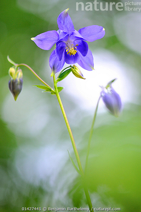 European columbine, (Aquilegia vulgaris) in flower. Foret de Puvenellle, Lorraine Regional National Park, France, May.  ,  DICOTYLEDONS,EUROPE,FLOWERS,FORESTS,FRANCE,NP,PLANTS,PURPLE,RANUNCULACEAE,RESERVE,VERTICAL,WOODLANDS,National Park  ,  Benjamin Barthelemy