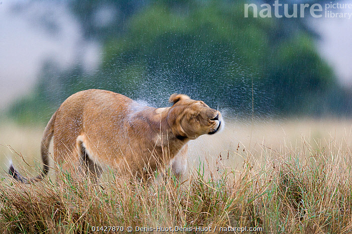Nature Picture Library Lioness Panthera Leo Shaking Water Off