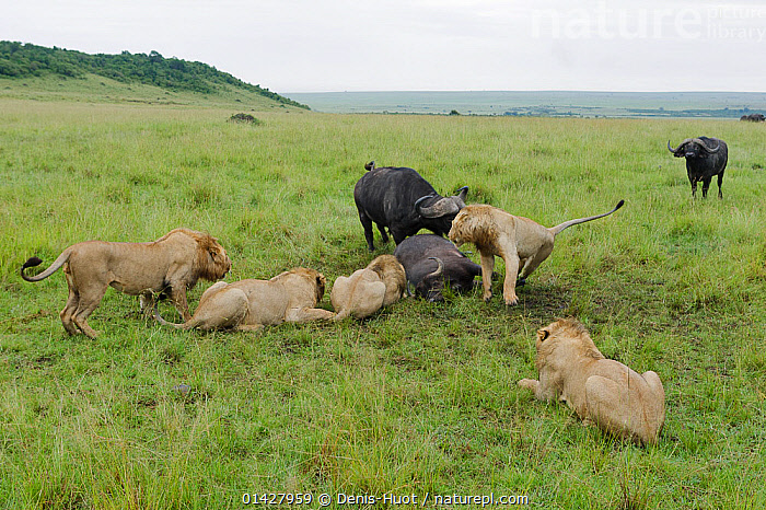 Nature Picture Library - Lion (Panthera leo) males hunting a
