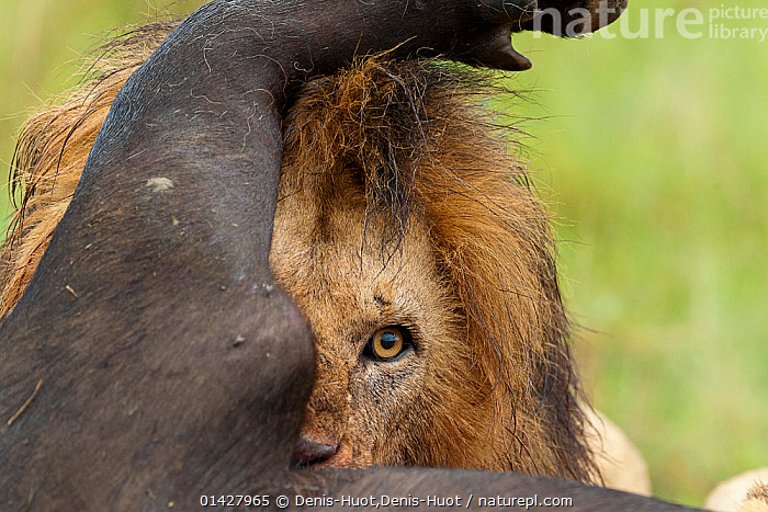 Lion (Panthera leo) male feeding on a buffalo (Syncerus caffer) Masai-Mara Game Reserve, Kenya. Vulnerable species.  ,  AFRICA,BEHAVIOUR,BIG CATS,BOVIDS,CARNIVORES,EAST AFRICA,EYES,FEEDING,felidae,Game Reserve,HUNTING,Kenya,LIONS,maasai mara,MALES,MAMMALS,Masaai Mara,Masai Mara,PREDATION,RESERVE,VERTEBRATES,catalogue6,PANTHERA LEO,Animal,Vertebrate,Mammal,Carnivore,Cat,Big cat,Bovid,Buffalo,African buffalo,Lion,Animalia,Animal,Wildlife,Vertebrate,Chordate,Mammalia,Mammal,Carnivora,Carnivore,Felidae,Cat,Panthera,Big cat,Panthera leo,Artiodactyla,Even toed ungulates,Bovidae,Bovid,ruminantia,Ruminant,Syncerus,Buffalo,Syncerus caffer,African buffalo,Alertness,Alert,Two,No One,Nobody,Part Of,Africa,East Africa,Kenya,Close Up,Male Animal,Animal Eye,Animal Eyes,Eye,Eyes,Animal Limbs,Limb,Limbs,Animal Legs,Legs,Leg,Outdoors,Open Air,Outside,Day,Feeding,Reserve,Abstract,Abstracts,Lion,Maasai Mara,Protected area,Two animals,Game reserve,Awkward  ,  Denis-Huot,Denis-Huot