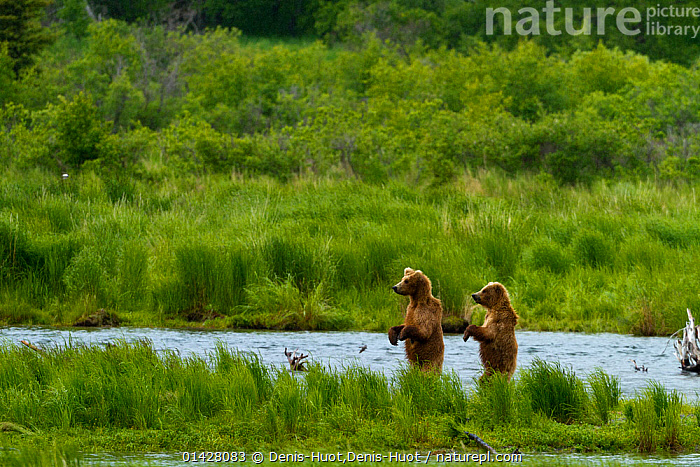 Grizzly bears (Ursus arctos horribilis) looking for salmon, Brooks river, Katmai national park, Alaska, North America,  ,  alaka,BEARS,brown bear,CARNIVORES,FRESHWATER,HABITAT,HUNTING,LANDSCAPES,MAMMALS,NORTH AMERICA,NP,RESERVE,RIVERS,SALMON,Ursidae,USA,VERTEBRATES,WATER,YOUNG,catalogue6,URSUS ARCTOS HORRIBILIS,Animal,Vertebrate,Mammal,Carnivore,Bear,Brown Bear,Grizzly bear,Animalia,Animal,Wildlife,Vertebrate,Chordate,Mammalia,Mammal,Carnivora,Carnivore,Ursidae,Bear,Ursus,Ursus arctos,Brown Bear,Walking,Standing,Caution,Apprehensive,Humorous,Stealth,Two,No One,Nobody,North America,USA,Western USA,Alaska,Animal Limbs,Limb,Limbs,Animal Legs,Legs,Leg,Hind Leg,Hind Legs,Food,Foods,Seafood,Seafoods,Prepared Fish,Salmon,Salmons,Flowing Water,River,Outdoors,Open Air,Outside,Day,Freshwater,Animal Behaviour,Predation,Reserve,Behaviour,Grizzly bear,Protected area,National Park,Two animals,Katmai National Park,Upright,Brooks River,Concepts  ,  Denis-Huot,Denis-Huot