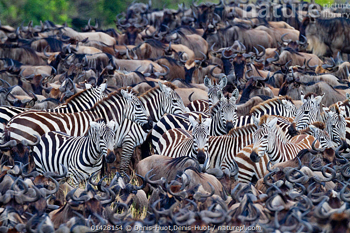 Grant's zebra (Equus burchelli boehmi) in a migration herd of wildebeest (Connochaetes taurinus) Masai-Mara Game Reserve, Kenya, AFRICA,ARTIODACTYLA,BEHAVIOUR,BOEHM'S ZEBRA,BOVIDS,EAST AFRICA,Equidae,EQUUS BURCHELLI BOEHMI,Game Reserve,GROUPS,Herds,Kenya,large groups,maasai mara,MAMMALS,many,Masaai Mara,Masai Mara,MIGRATION,MIXED SPECIES,multitude,PERISSODACTYLA,RESERVE,STRIPES,VERTEBRATES,WILDEBEESTS,ZEBRAS,catalogue6,EQUUS QUAGGA BOEHMI,Animal,Vertebrate,Mammal,Bovid,Wildebeest,Blue & White bearded Wildebeest,Odd toed ungulate,Common Zebra,Grant&#39,s zebra,Animalia,Animal,Wildlife,Vertebrate,Chordate,Mammalia,Mammal,Artiodactyla,Even toed ungulates,Bovidae,Bovid,ruminantia,Ruminant,Connochaetes,Wildebeest,Connochaetes taurinus,Blue & White bearded Wildebeest,Blue Wildebeest,Common Wildebeest,Perissodactyla,Odd toed ungulate,Equidae,Equus,Equus quagga,Common Zebra,Painted Zebra,Plains Zebra,Equus burchelli,Migrating,Migration,Confusion,Bewildered,Confused,Lost,Herds,Many,Group,Large Group,No One,Nobody,Africa,East Africa,Kenya,High Angle View,Outdoors,Open Air,Outside,Day,Animal Behaviour,Behaviour,Maasai Mara,Multitude,Mass,Grant&#39,s zebra,Elevated view,Surrounded,Outnumbered, Denis-Huot,Denis-Huot