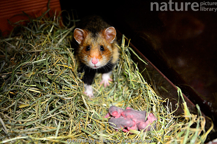 Female common hamster (Cricetus cricetus) with her newborn babies, age 2 days, Alsace, France, captive, BABIES,CRICETIDAE,EUROPE,FAMILIES,FEMALES,FRANCE,GROUPS,HAMSTERS,HELPLESS,infants,MAMMALS,MOTHER,MOTHER BABY,NESTS,newborn,PARENTAL,pups,rodents,VERTEBRATES,YOUNG, Eric Baccega