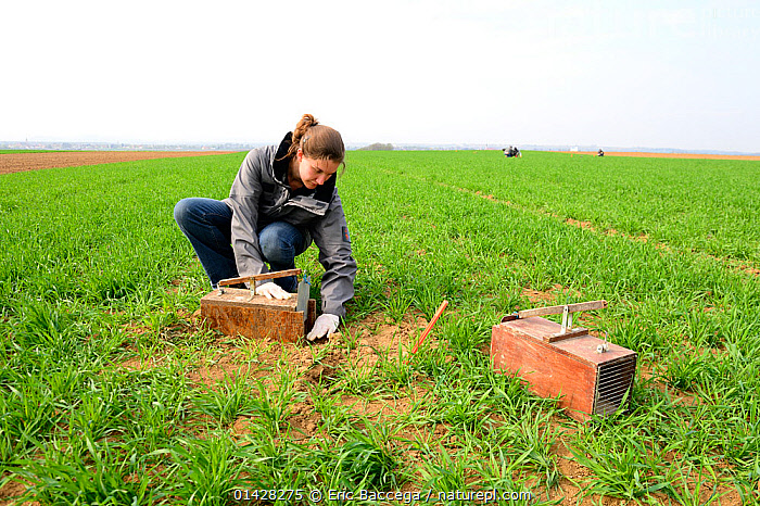 Scientists from the French Wildlife Department (ONCFS) placing traps to capture the common hamster (Cricetus cricetus) in a wheat field, Alsace, France, April 2013 Model released.  ,  catalogue6,CRICETUS CRICETUS,Animal,Vertebrate,Mammal,Rodent,Hamster,Black bellied Hamster,Animalia,Animal,Wildlife,Vertebrate,Chordate,Mammalia,Mammal,Rodentia,Rodent,Cricetidae,Cricetus,Hamster,Cricetus cricetus,Black bellied Hamster,Common Hamster,Cricetus albus,Cricetus babylonicus,Cricetus canescens,Crouching,People,Female,Woman,Scientist,Scientists,1 Person,Single,Single Person,Europe,Western Europe,France,Plant,Arable Plant,Arable Plants,Crops,Produce,Cultivated,Cultivation,Equipment,Hunting Equipment,Trap,Traps,Horizon,Horizon Over Land,Horizons Over Land,Cultivated Land,Fields,Outdoors,Open Air,Outside,Day,Farmland,Animal Care,Animal trap  ,  Eric Baccega