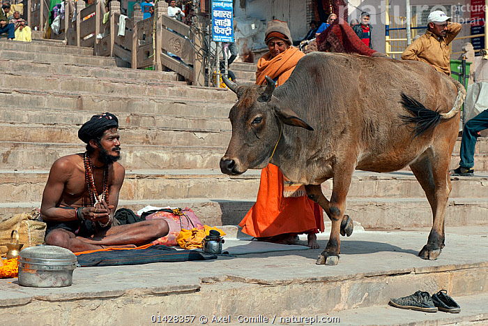 Zebu cattle (Bos primigenius indicus)  holy cow, walking past Sadhu or holy man, Varanasi, India  ,  catalogue6,BOS INDICUS,Bos indicus,Walking,Moving Past,Pass,Passing,Passes,People,Asian,Asians,Indian Subcontinent Ethnicities,Indian,Indians,Religious Role,Sadhu,Sadhus,Group,Group Of People,Small Group Of People,Few,Asia,Indian Subcontinent,India,Animal,Steps,Step,Tread,Outdoors,Open Air,Outside,Day,Domestic animal,Cow,Cows,Domestic animals,Domesticated,Bos,Bos indicus,Sitting on Ground,Sitting Crosslegged,Holy Man,Varanasi  ,  Axel  Gomille
