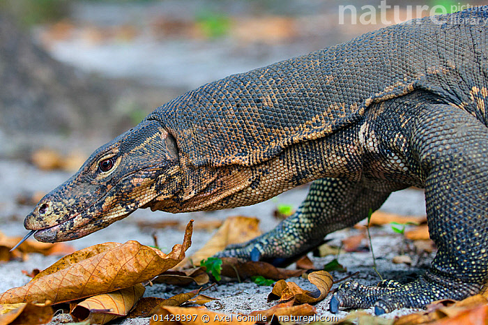 Water monitor (Varanus salvator), foraging, flicking tongue, Thailand, ASIA,FORAGING,LIZARDS,MONITOR LIZARDS,PORTRAITS,REPTILES,SOUTH EAST ASIA,THAILAND,TONGUES,VERTEBRATES,,Lizards,,,Lizards,, Axel Gomille