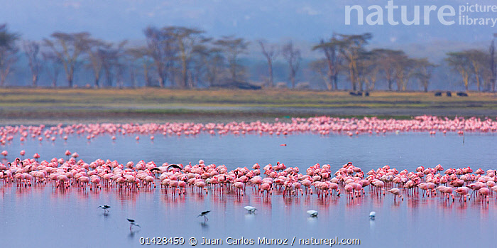 Lesser flamingo (Phoeiconaias minor) flock feeding, Lake Nakuru, Rift valley, Kenya, Africa  ,  AFRICA,BIRDS,EAST AFRICA,FLAMINGOS,GROUPS,HABITAT,KENYA,LAKES,PANORAMIC,VERTEBRATES,WATER  ,  Juan Carlos Munoz