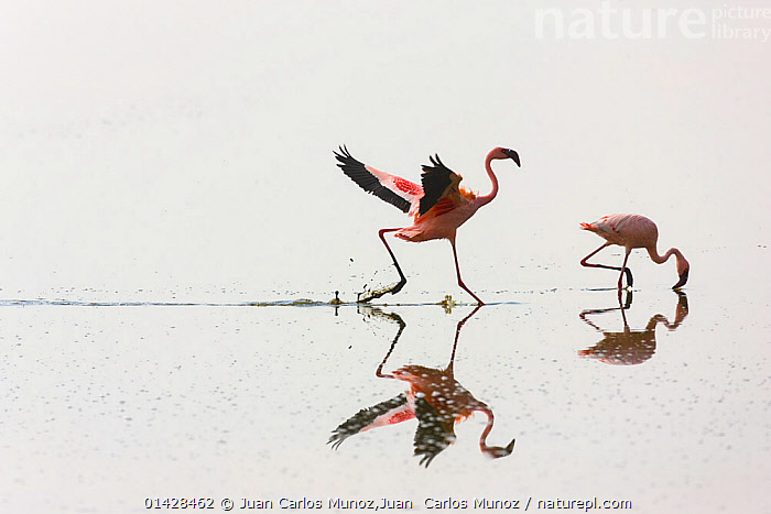 Two Lesser flamingos (Phoeniconaias minor) one feeding the other running, Lake Nakuru NP, Rift Valley, Kenya, AFRICA,alkaline,BIRDS,EAST AFRICA,FEEDING,FLAMINGOS,Kenya,LAKES,NP,REFLECTIONS,RESERVE,soda,VERTEBRATES,WATER,catalogue6,PHOENICONAIAS MINOR,Animal,Vertebrate,Birds,Flamingo,Lesser flamingo,Animalia,Animal,Wildlife,Vertebrate,Chordate,Aves,Birds,Phoenicopteriformes,Flamingo,Phoenicopteridae,Phoeniconaias,Phoeniconaias minor,Lesser flamingo,Running,Excitement,Enthusiasm,Enthusiastic,Excited,Speed,Colour,Pink,Two,No One,Nobody,Full Length,Full Lengths,Whole,Side View,Reflection,Outdoors,Open Air,Outside,Day,Water Surface,Feeding,Geology,Two animals,Tectonic plates,Lake Nakuru,Insecurity,National Park, Juan Carlos Munoz,Juan  Carlos Munoz