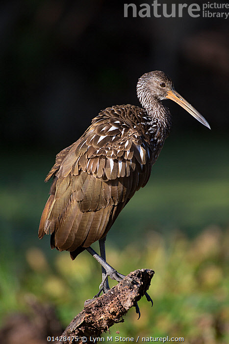 Limpkin (Aramus guarauna) perched on branch, Lakeland, Florida, USA, January, non-ex  ,  BIRDS,LIMPKINS,PORTRAITS,PROFILE,USA,VERTEBRATES,VERTICAL,North America  ,  Lynn M Stone