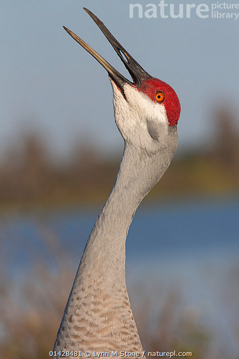 Florida sandhill crane (Grus canadensis pratensis) vocalising, Lakeland, Florida, USA, January  ,  BEHAVIOUR,BIRDS,CALLING,CRANES,PORTRAITS,PROFILE,USA,VERTEBRATES,VERTICAL,VOCALISATION,WADERS,North America  ,  Lynn M Stone