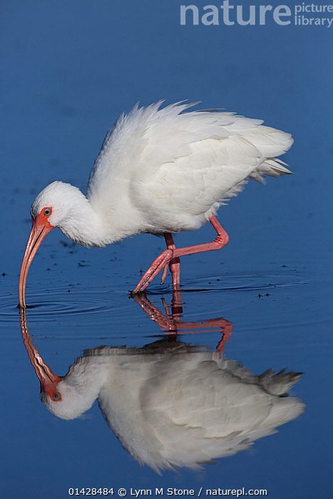 White ibis (Eudocimus albus), adult in non-breeding plumage, hunting at low tide, Pinellas County, Florida, USA, January  ,  BEHAVIOUR,BIRDS,HUNTING,IBISES,NORTH AMERICA,PROFILE,REFLECTIONS,USA,VERTEBRATES,VERTICAL,WATER  ,  Lynn M Stone