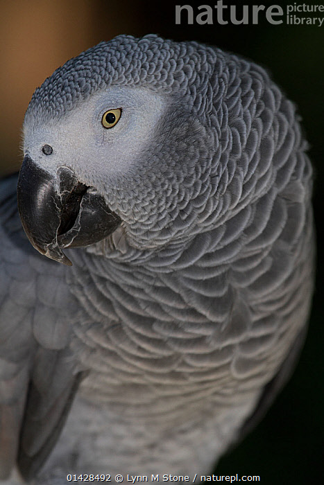 African Grey parrot (Psittacus erithacus), captive, native to rain forests of west and central Africa, vulnerable species  ,  BIRDS,CLOSE UPS,ENDANGERED,PARROTS,PORTRAITS,PROFILE,VERTEBRATES,VERTICAL  ,  Lynn M Stone