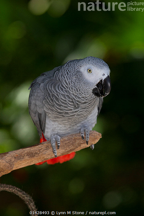 African Grey parrot (Psittacus erithacus), captive, native to rain forests of west and central Africa, vulnerable species, non-ex  ,  BIRDS,ENDANGERED,LOOKING AT CAMERA,PARROTS,PORTRAITS,VERTEBRATES,VERTICAL  ,  Lynn M Stone