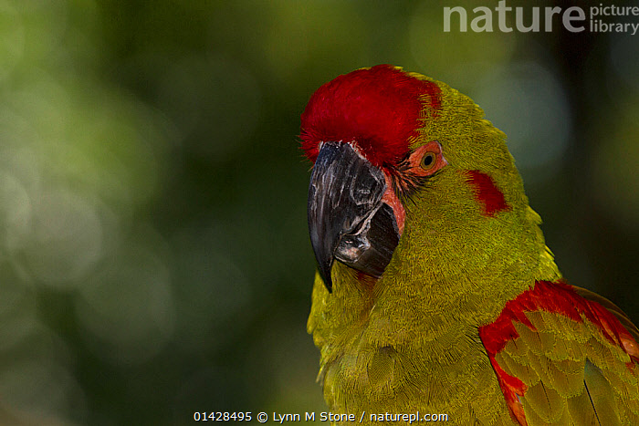 Red fronted macaw (Ara rubrogenys), captive, endemic to a small, mountainous, arid area in Brazil, highly endangered in the wild  ,  BIRDS,CLOSE UPS,COPYSPACE,ENDANGERED,MACAWS,PARROTS,PORTRAITS,PSITTACIDAE,VERTEBRATES  ,  Lynn M Stone