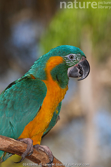 Blue throated macaw (Ara glaucogularis), captive, native and endemic to small area of north central Bolivia, critically endangered  ,  BIRDS,CANIDE MACAW,CRITICALLY ENDANGERED,ENDANGERED,MACAWS,PARROTS,PORTRAITS,PROFILE,PSITTACIDAE,VERTEBRATES,VERTICAL,WAGLER'S MACAW  ,  Lynn M Stone