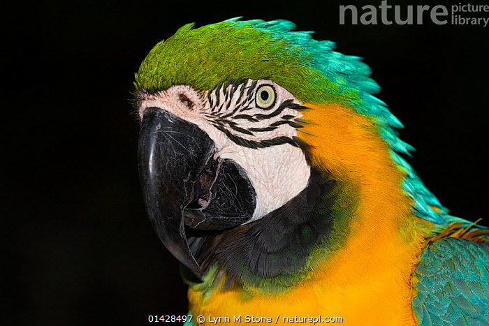 Blue and yellow macaw (Ara ararauna), captive, native to woodlands of tropical South America, from Venezuela south to Peru, Brazil, Bolivia, and Paraguay, restricted in Central America to Panama  ,  BIRDS,BLACK BACKGROUND,CLOSE UPS,CUTOUT,LOOKING AT CAMERA,MACAWS,PARROTS,PORTRAITS,PSITTACIDAE,VERTEBRATES  ,  Lynn M Stone