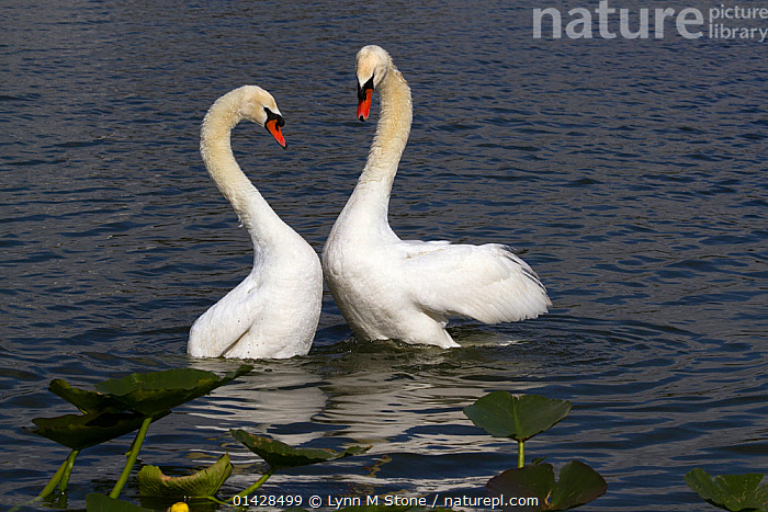 Mute swans (Cygnus olor) in courtship behaviour, bonded pair 'bowing' after copulation, North America, native to Eurasia, February, non-ex  ,  ANATIDAE,BEHAVIOUR,BIRDS,COURTSHIP,MALE FEMALE PAIR,MATING BEHAVIOUR,SWANS,VERTEBRATES,WATER,WATERFOWL  ,  Lynn M Stone