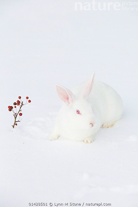 Nature Picture Library New Zealand Breed White Rabbit In