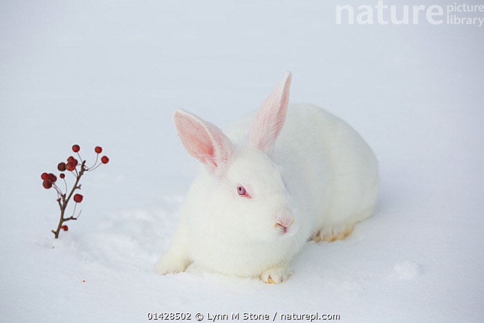New Zealand breed white rabbit in snow, Union, Illinois, USA, winter  ,  CUTE,LAGOMORPHS,LEPORIDAE,MAMMALS,PETS,PORTRAITS,RABBITS,SNOW,VERTEBRATES,WHITE,WINTER,North America  ,  Lynn M Stone