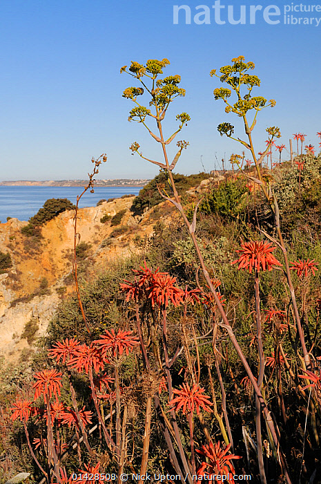 Soap Aloe (Aloe maculata / saponaria) and Giant Fennel (Ferula communis) flowering on a clifftop with the sea in the background.  Algarve, Portugal, June.  ,  COASTS,EUROPE,FENNEL,FLOWERS,FOENICULUM,LILIACEAE,MAQUIS,MIXED SPECIES,MONOCOTYLEDONS,PLANTS,PORTUGAL,SUCCULENT,VERTICAL,XANTHORRHOEACEAE  ,  Nick Upton