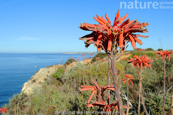 Soap Aloe (Aloe maculata / saponaria) flowering on a clifftop with the sea in the background. Algarve, Portugal, June.  ,  COASTS,EUROPE,FLOWERS,LILIACEAE,MAQUIS,MONOCOTYLEDONS,PLANTS,PORTUGAL,RED,SUCCULENT,XANTHORRHOEACEAE  ,  Nick Upton