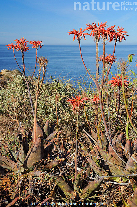 Soap Aloe (Aloe maculata / saponaria) flowering on a clifftop with the sea in the background.  Algarve, Portugal, June.  ,  COASTS,EUROPE,LILIACEAE,MAQUIS,MONOCOTYLEDONS,PLANTS,PORTUGAL,SUCCULENT,VERTICAL,XANTHORRHOEACEAE  ,  Nick Upton