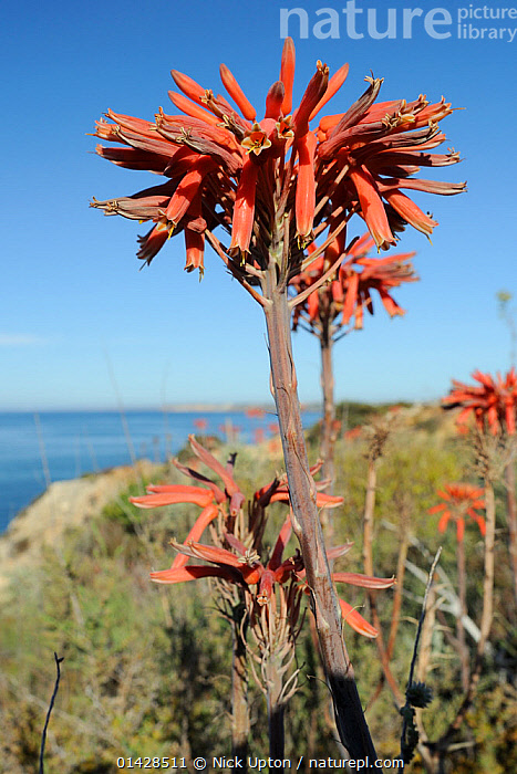 Soap Aloe (Aloe maculata / saponaria) flowering on a clifftop with the sea in the background. Algarve, Portugal, June.  ,  COASTS,EUROPE,FLOWERS,LILIACEAE,MAQUIS,MONOCOTYLEDONS,PLANTS,PORTUGAL,RED,SUCCULENT,VERTICAL  ,  Nick Upton