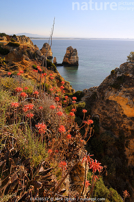 Soap Aloe (Aloe maculata / saponaria) flowering on a clifftop with the sea in the background.  Algarve, Portugal, June.  ,  COASTS,EUROPE,FLOWERS,LILIACEAE,MAQUIS,MONOCOTYLEDONS,PLANTS,PORTUGAL,RED,SUCCULENT,VERTICAL,XANTHORRHOEACEAE  ,  Nick Upton