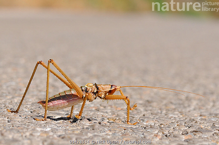 Balkan Sawing Cricket (Saga natoliae), the largest predatory insect in Europe, crossing a mountain road. Samos Greece, July.  ,  ARTHROPODS,CRICKETS,EUROPE,GRASSHOPPERS,GREECE,INSECTS,MEDITERRANEAN,TETTIGONIIDAE,Invertebrates,Orthoptera  ,  Nick Upton
