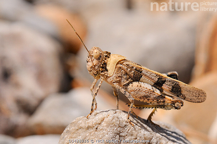 Band-winged Grasshopper (Oedipoda aurea). Samos, Greece, July.  ,  ACRIDIDAE,ARTHROPODS,EUROPE,GRASSHOPPERS,GREECE,INSECTS,MEDITERRANEAN,PROFILE,SHORT HORNED GRASSHOPPERS,Invertebrates,Orthoptera  ,  Nick Upton