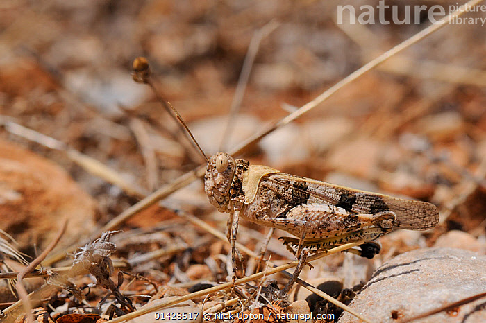Band-winged Grasshopper (Oedipoda aurea), well camouflaged among dried grasses and stones. Samos, Greece, July.  ,  ACRIDIDAE,ARTHROPODS,CAMOUFLAGE,EUROPE,GRASSHOPPERS,GREECE,INSECTS,MEDITERRANEAN,SHORT HORNED GRASSHOPPERS,Invertebrates,Orthoptera  ,  Nick Upton