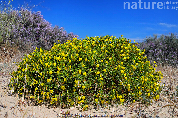 Bushy / Yellow restharrow (Ononis ramosissima / natrix ramosissima) flowering in a large clump among sand dunes with Grand statice (Limoniastrum monopetalum) bushes in the background. Alvor, Algarve, Portugal.  ,  BUSHES,DICOTYLEDONS,EUROPE,FABACEAE,FLOWERS,LEGUME,MIXED SPECIES,PLANTS,PORTUGAL,YELLOW  ,  Nick Upton