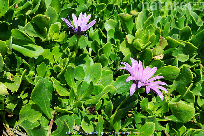 Cape Daisies / Cape marguerites (Osteospermum / Dimorphotheca ecklonis) in flower. Praia do Martinhal, Sagres, Portugal, June.  ,  ASTERACEAE,DAISIES,DICOTYLEDONS,EUROPE,FLOWERS,PINK,PLANTS,PORTUGAL  ,  Nick Upton