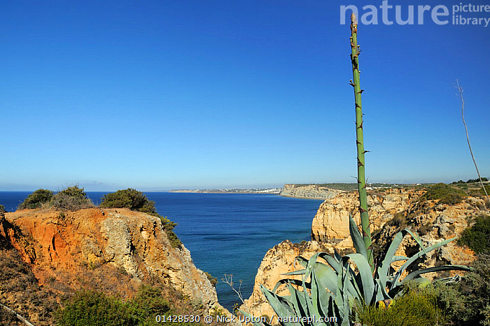 Century Plant (Agave americana) growing on cliff edge with flowering spike in bud. Ponta da Piedade, Lagos, Algarve, Portugal, June.  ,  AGAVACEAE,CLIFFS,COASTS,EUROPE,FLOWERS,LANDSCAPES,MAQUIS,MONOCOTYLEDONS,PLANTS,PORTUGAL,SEASCAPES,SUCCULENT,Geology  ,  Nick Upton