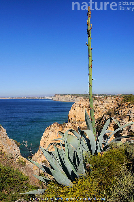 Century plant (Agave americana) growing on cliff edge with flowering spike in bud, Ponta da Piedade, Lagos, Algarve, Portugal, June.  ,  AGAVACEAE,COASTS,EUROPE,FLOWERS,LANDSCAPES,MAQUIS,MONOCOTYLEDONS,PLANTS,PORTUGAL,SEASCAPES,SUCCULENT,VERTICAL  ,  Nick Upton