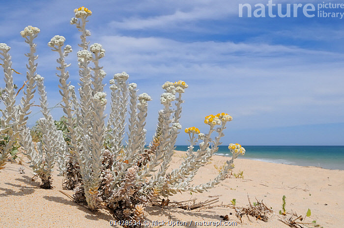 Cottonweed (Achillea maritima / Otanthus maritimus) a species recently lost from mainland UK, flowering on an exposed sandy beach. Culatra Island, Ria Formosa, near Olhao, Portugal.  ,  ASTERACEAE,BEACHES,COASTS,COMPOSITAE,DICOTYLEDONS,EUROPE,FLOWERS,PLANTS,PORTUGAL,YELLOW  ,  Nick Upton