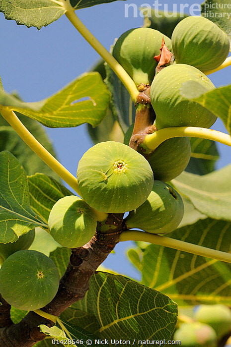 Figs ripening on Common Fig Tree (Ficus carica). Isle of Samos, Greece, July.  ,  DICOTYLEDONS,EUROPE,FOOD,FRUIT,GREECE,GREEN,GROWING,MEDITERRANEAN,MORACEAE,PLANTS,VERTICAL  ,  Nick Upton