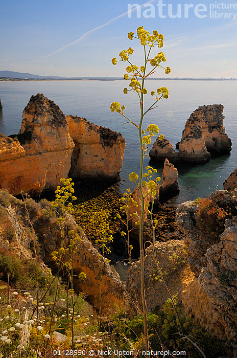 Giant Fennel (Ferula communis) flowering on clifftop with sandstone seastacks and the sea in the background. Ponta da Piedade, Lagos, Algarve, Portugal, June.  ,  APIACEAE,CLIFFS,COASTS,DICOTYLEDONS,EUROPE,FLOWERS,GEOLOGY,HERB,LANDSCAPES,PLANTS,PORTUGAL,SEASCAPES,UMBELLIFERAE,VERTICAL,YELLOW  ,  Nick Upton