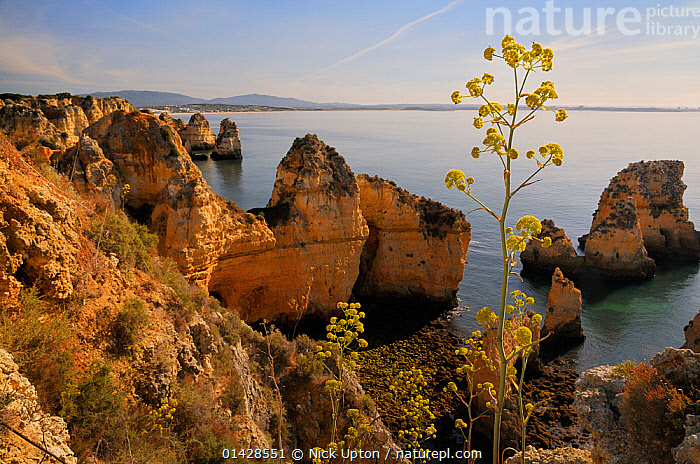Giant Fennel (Ferrula communis) flowering on clifftop with sandstone seastacks in the background. Ponta da Piedade, Lagos, Algarve, Portugal, June.  ,  APIACEAE,CLIFFS,COASTS,DICOTYLEDONS,EUROPE,FLOWERS,GEOLOGY,HERB,LANDSCAPES,PLANTS,PORTUGAL,SEASCAPES,UMBELLIFERAE,YELLOW  ,  Nick Upton