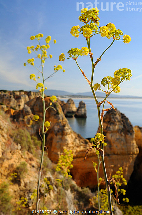 Giant Fennel (Ferrula communis) flowering on clifftop with sandstone seastacks. Ponta da Piedade, Lagos, Algarve, Portugal, June.  ,  APIACEAE,CLIFFS,COASTS,DICOTYLEDONS,EUROPE,FLOWERS,HERB,LANDSCAPES,PLANTS,PORTUGAL,SEASCAPES,UMBELLIFERAE,VERTICAL,YELLOW,Geology  ,  Nick Upton