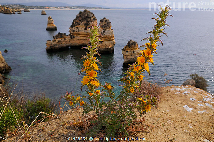 Golden Thistle / Spanish Oyster Thistle (Scolymus hispanica / hispanicus) clump flowering on cliff edge. Ponta da Piedade, Lagos, Algarve, Portugal, June.  ,  ASTERACEAE,CLIFFS,DICOTYLEDONS,EUROPE,FLOWERS,GEOLOGY,LANDSCAPES,PLANTS,PORTUGAL,SEASCAPES,YELLOW  ,  Nick Upton