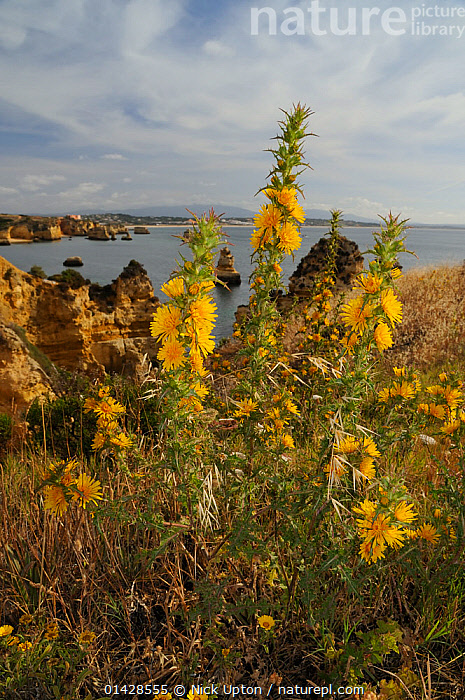 Golden Thistle / Spanish Oyster Thistle (Scolymus hispanica / hispanicus) clump flowering on cliff edge. Ponta da Piedade, Lagos, Algarve, Portugal, June.  ,  ASTERACEAE,DICOTYLEDONS,EUROPE,FLOWERS,LANDSCAPES,PLANTS,PORTUGAL,SEASCAPES,VERTICAL,YELLOW  ,  Nick Upton