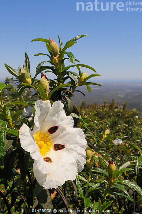 Common Gum Cistus / Gum Rockrose (Cistus ladanifer) with sticky, aromatic leaves, flowering on maquis covered slopes of the Serra de Monchique. Near Foia, Algarve, Portugal, June.  ,  CISTACEAE,DICOTYLEDONS,EUROPE,FLOWERS,LANDSCAPES,PLANTS,PORTUGAL,VERTICAL,WHITE,YELLOW  ,  Nick Upton