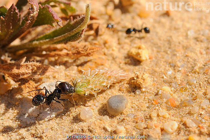 Major worker of European Harvester Ant (Messor sp.) dragging a small Plantain flowerhead towards its nest. Algarve, Portugal, June.  ,  EUROPE,FORAGING,FORMICIDAE,HARVESTER ANTS,HYMENOPTERA,INSECTS,INVERTEBRATES,MACRO,PORTUGAL  ,  Nick Upton