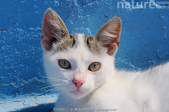 Domestic cat (Felis catus) kitten head portrait. Kokkari harbour, Samos, Eastern Sporades, Greece.  ,  CATS,CUTE,EUROPE,felidae,GREECE,kittens,looking at camera,MEDITERRANEAN,PETS,PORTRAITS,VERTEBRATES,YOUNG high1314,FELIS CATUS,Felis catus,Trust,Trustful,Trusting,Colour,Blue,White,Nobody,Europe,Southern Europe,Greece,Close Up,Front View,View From Front,Animal,Young Animal,Juvenile,Babies,Baby Mammal,Kitten,Kittens,Ear,Animal Ears,Ears,Animal Nose,Nose,Noses,Hair,Fur,Wall,Outdoors,Open Air,Outside,Day,Eyesight,Sight,Domestic animal,Pet,Domestic Cat,Cats,Felis catus,Cat,Whiskers,Direct Gaze,Using Senses,White colour,Ears Pricked,Blue Colour,Animal Hair,Kokkari,Samos,Eastern Sporades,Sporades  ,  Nick Upton