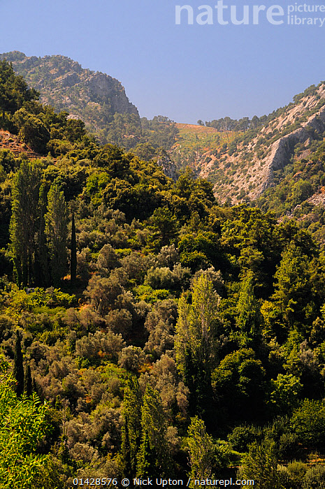 Mountain slopes above Manolates village with a mix of Olive (Olea europaea) and Cypress trees, Samos, Greece, July.  ,  EUROPE,GARRIGUE,GREECE,LANDSCAPES,MEDITERRANEAN,MOUNTAINS,VERTICAL,WOODLANDS  ,  Nick Upton