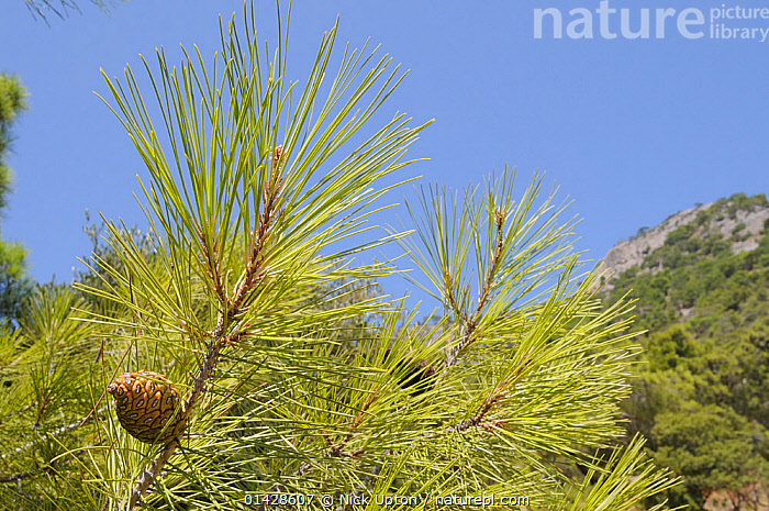 Developing cones of Turkish pine (Pinus brutia). Isle of Samos, Eastern Sporades, Greece, July.  ,  CONES,CONIFERS,EUROPE,GREECE,GYMNOSPERMS,MEDITERRANEAN,PINACEAE,PINE NEEDLES,PINES,PLANTS,SEEDS  ,  Nick Upton